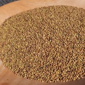 AlfaAlfa semienko