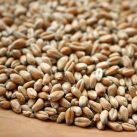 Pšenica BIO