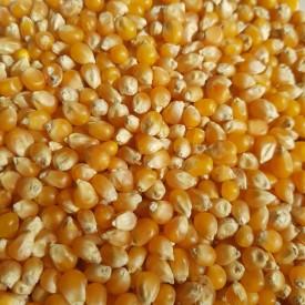 Pukancová kukurica